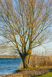 Large tree with leafless branches on the banks of a river Royalty Free Stock Images