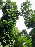 Large tree in Maui Hawaii with vines growing on its trunk Royalty Free Stock Photography