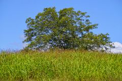 Large Tree in a Meadow of Hay. A single large tree at the top of a hill in a field of hay stock photo