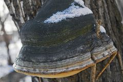 Large tree mushroom tinder in winter. Close-up Royalty Free Stock Photos