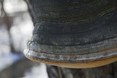 Large tree mushroom tinder in winter. Close-up Stock Images