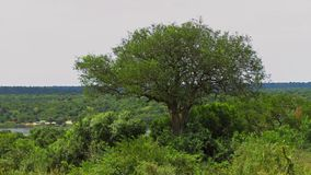 Large tree near the ferry crossing in Murchison Falls National P. A large tree growing out of the jungle in Murchison Falls National Park, Uganda. In the stock image