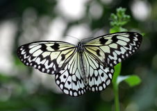 Large Tree Nymph Butterfly. A.k.a. Paper Kite butterfly, White Tree Nymph, Rice Paper Butterfly, Wood Nymph (Idea leuconoe). This graphic black and white Royalty Free Stock Photo