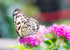 Large tree nymph butterfly on a flower blossom Royalty Free Stock Photo
