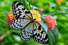 Large Tree Nymph Butterfly,Idea leuconoe Stock Images