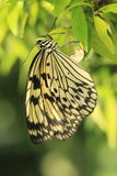 Large tree nymph butterfly Royalty Free Stock Photos