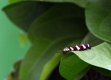 Large Tree Nymph Caterpillar Royalty Free Stock Images