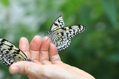 Large Tree Nymphs butterflies on the hand Royalty Free Stock Photos