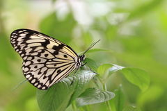 Large Tree Nymphs butterfly Stock Photo