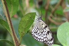 Large Tree Nymphs butterfly and eggs Stock Images