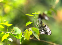 Large Tree Nymphs butterfly Royalty Free Stock Image