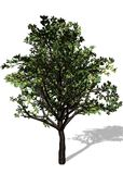 Large Tree On White Background Royalty Free Stock Photography