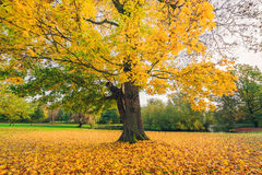 Large tree in a park in autumn Royalty Free Stock Images