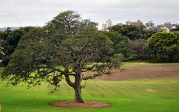 Large tree in park in Sydney stock images