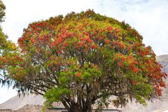 Large tree Pisonay with red, flower inPuno,South America in village Royalty Free Stock Images