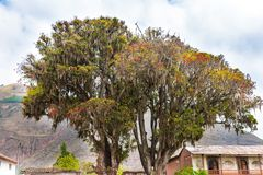 Large tree Pisonay with red, flower in Peru,Puno,South America Stock Images