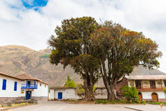 Large tree Pisonay with red, flower in Peru,Puno,South America Royalty Free Stock Photos