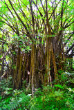 Large tree in a rainforest Stock Photo