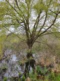 Tree reflection in swamp water royalty free stock photos