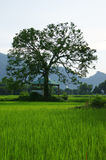 Large tree on rice field Stock Image