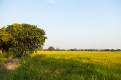 Large tree in rice fields. Stock Photos