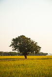 Large tree in rice fields. Stock Image