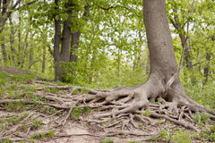 Large tree root Royalty Free Stock Images