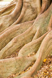 Large tree roots Stock Images