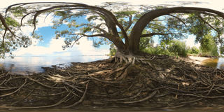 Large tree with roots Stock Photography