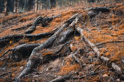 Landscapes enchanted autumn forest. Tree roots and orange grass royalty free stock images