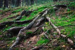 Large tree roots climbed out of the ground, overgrown with moss and grasses. Shooting at eye level. stock images