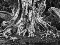 Large tree roots Stock Photo