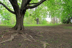 Large tree with roots reaching out over bare ground. Stock Images