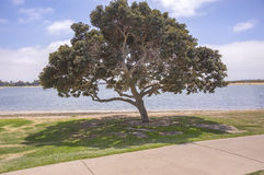 Large tree with shadenear the San Diego bay. Outdoors in Southern California homes ready for real estate listings Royalty Free Stock Photo