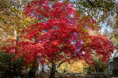 Large tree sporting beautiful red fall foliage, on a clear Autumn day at Sleepy Hollow Cemetery, Upstate New York, NY royalty free stock images
