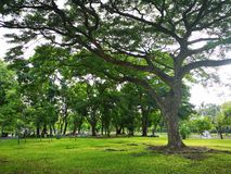 A large tree that spreads branch over a wide area on green grass in the park nature background. Lawn stock photos