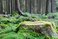 Large tree stump in summer forest Stock Photography