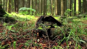 Large tree stump in summer forest.  stock video footage
