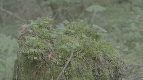 Large tree stump in summer forest. Mossy undergrowth in mountain forest. Mossy stump in old-growth forest. 4K stock footage
