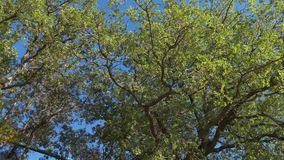Large tree in sunny day, bottom up view. Large green tree on blue sky background in sunny day, bottom up view stock video