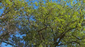 Large tree in sunny day, bottom up view. Large green tree on blue sky background in sunny day, bottom up view stock video footage