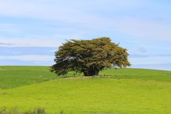 A lonely tree surrounded by green meadows, The Catlins,  South Island, New Zealand. A large tree surrounded by green meadows, The Catlins,  South Island, New royalty free stock photo