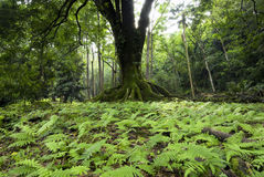 Large tree surrounded by small ferns in Ke'anae Arboretum, Maui, Hawaii Stock Photos