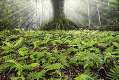 Large tree surrounded by small ferns in Ke'anae Arboretum, Maui, Hawaii Royalty Free Stock Photo