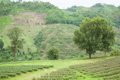 large tree in tea plantation Royalty Free Stock Photos