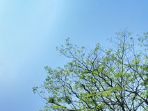 Large Tree Top with Green Leaves and Branches Against Clear Blue Sky. Low Angle View of Large Tree Top with Green Leaves and Branches Against Clear Blue Sky stock image