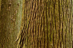 Large tree trunk. Trunk of a old large Sugi (Cryptomeria japonica) tree Stock Photo