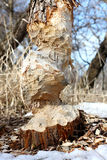 Large Tree Trunk Chewed Up by Beaver Royalty Free Stock Images