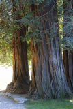 Large tree trunk Royalty Free Stock Photography