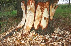 Large tree trunk gnawed by a beaver stock photo